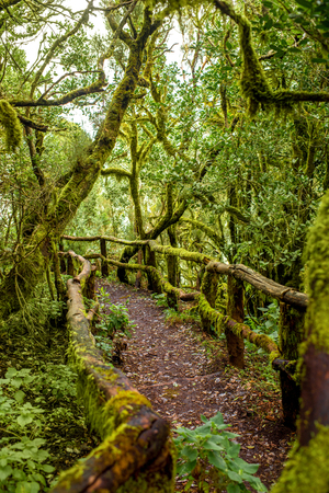 evergreen forest: Evergreen forest in Garajonay national park with tourist footpath on La Gomera island in Spain