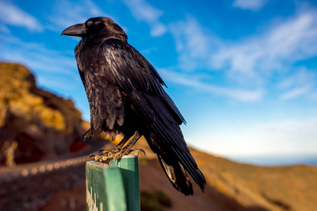 black raven: Black raven sitting on the road sign on the blue sky background Stock Photo