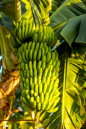 canarian: Green banana bunch on the banana plantation on Canarian island