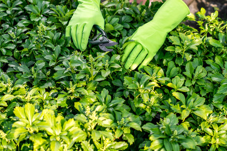 pruning scissors: Male hands in the green working gloves pruning plants with scissors.