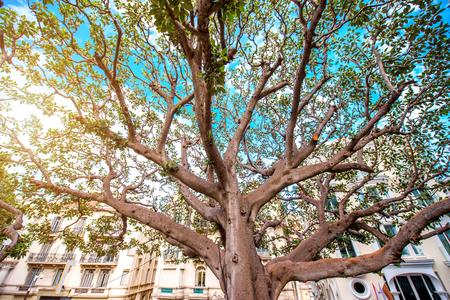 monte: A big beautiful tree in Monte Carlo in Monaco