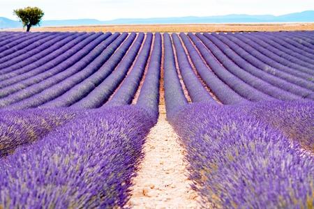 lavande: Beautiful landscape of lavender field in Provence in France