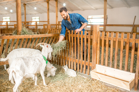 Handsome farmer feeding beautiful white goats with hay in the barn