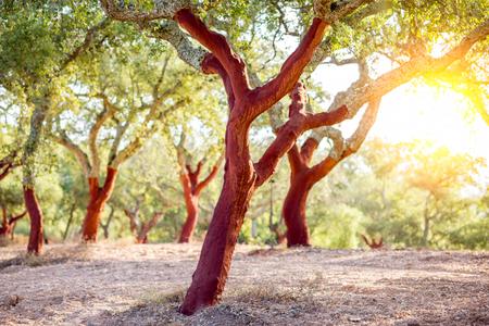 Piękny widok na plantację dębów korkowych ze świeżo pokruszoną korą w Portugalii