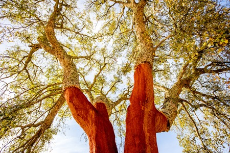 View from below on the cork oak trees with freshly crumbled bark in Portugal