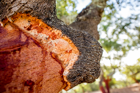 Close-up view on the stem with cutted bark of the oak tree in Portugal