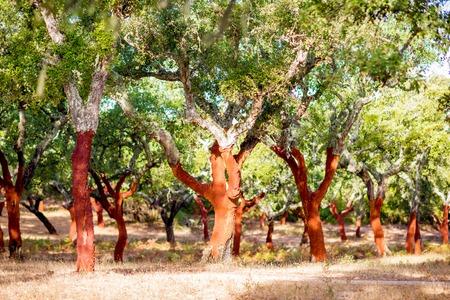 ポルトガルで新たに崩れた樹皮を持つコルクオークの木のプランテーションの美しい景色