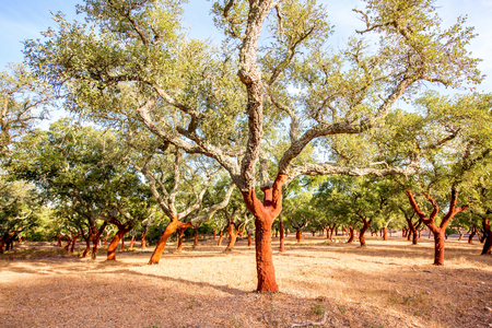 Beautiful view on the plantation of cork oak trees with freshly crumbled bark in Portugal