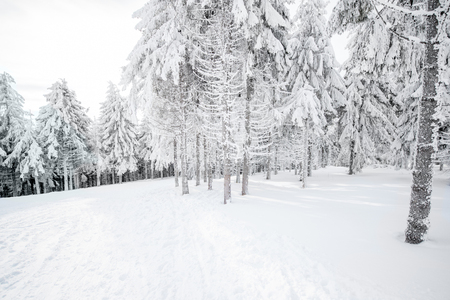 Beautiful landscape view on the snow-covered fir forest
