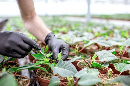 Cutting with scalpel tops of the Christmas flower for better growing in the greenhouse, close-up view