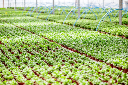 Green plants growing in the greenhouse of the plant production farm