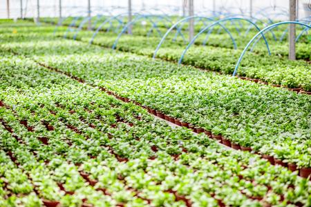 Groene planten die groeien in de kas van de plantproductieboerderij