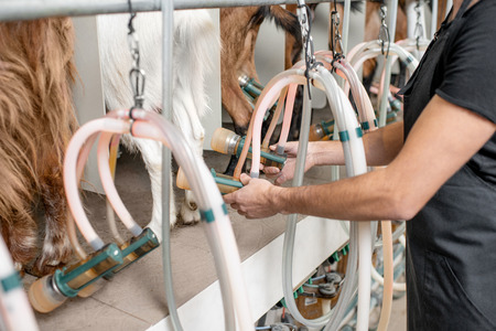 Inserting nipples of the milking machine to the goats udder during the milking process at the goat farm