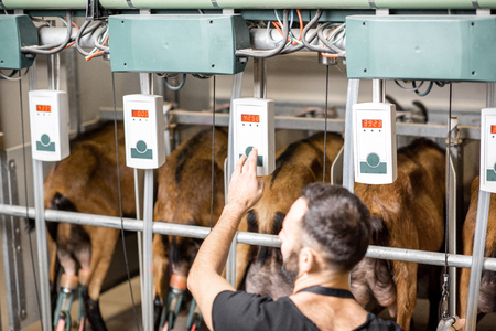 Male worker operating machine during the milking process at the goat farm