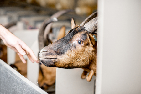 Beautiful goat of alpine breed on the milking line during the milking process 版權商用圖片