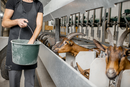Handsome man feeding goats during the milking process at the automated milking line