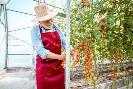 Handsome well-dressed senior man growing cherry tomatoes in a well-equipped hothouse on a small agricultural farm. Concept of a small agribusiness and work at retirement age Stok Fotoğraf - 127935636