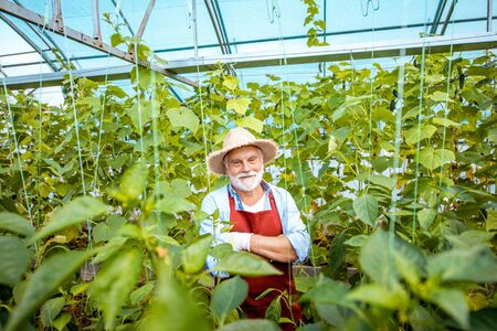 Portrait of a well-dressed senior man standing in a well-equipped hothouse with cucumbers on a small agricultural farm. Concept of a small agribusiness and work at retirement age Stok Fotoğraf - 127935655