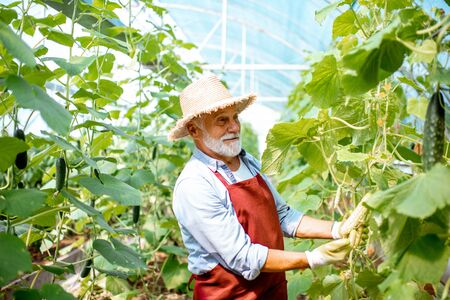Handsome senior man growing cucumbers in the hothouse, holding a rare variety of white cucumber. Concept of a small agribusiness and work at retirement age Stockfoto