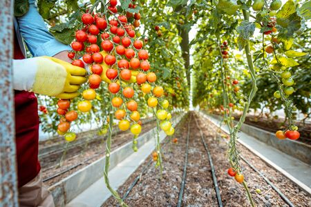 Gronomist holding beautiful branch with lots of cherry tomatoes in the hothouse, close-up view Stock Photo