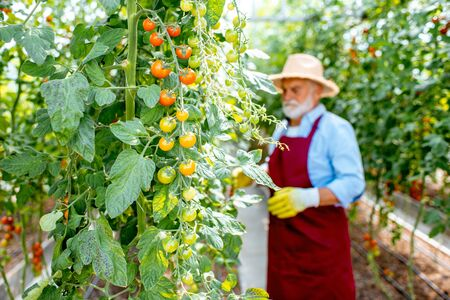 Handsome well-dressed senior man growing cherry tomatoes in a well-equipped hothouse on a small agricultural farm. Concept of a small agribusiness and work at retirement age Stok Fotoğraf - 127935672
