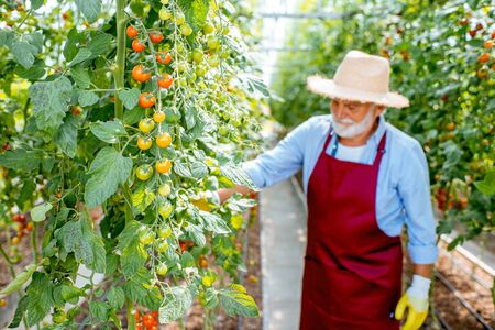 Handsome well-dressed senior man growing cherry tomatoes in a well-equipped hothouse on a small agricultural farm. Concept of a small agribusiness and work at retirement age Stok Fotoğraf - 127935674