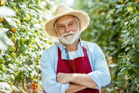 Portrait of a handsome well-dressed senior man growing cherry tomatoes in a well-equipped hothouse on a small agricultural farm. Concept of a small agribusiness and work at retirement age