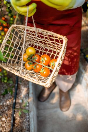 Man holding a basket with freshly plucked tomatoes, collecting harvest in the hothouse, close-up Reklamní fotografie