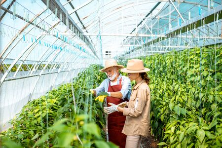 Young woman with grandfather taking care of pepper plantation in the hothouse of a small agricultural farm. Concept of a small family agribusiness Stock Photo