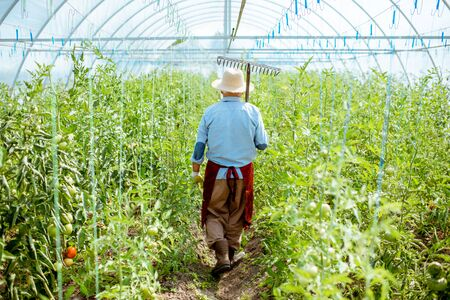 Senior agronomist walking with rakes on the tomatoes plantation in the greenhouse on a small agricultural farm, rear view Stock Photo