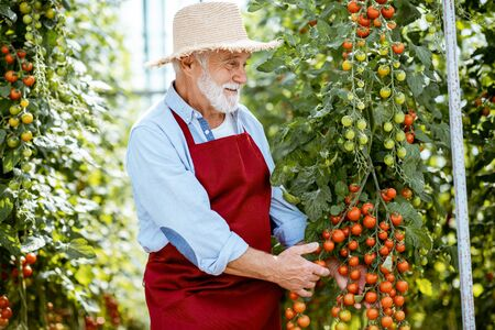 Handsome well-dressed senior man growing cherry tomatoes in a well-equipped hothouse on a small agricultural farm. Concept of a small agribusiness and work at retirement age