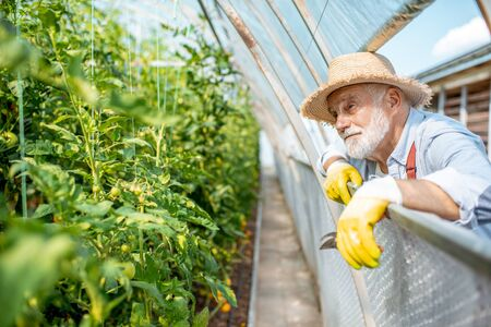 Portrait of a cheerful senior man looking out the window in the greenhouse with tomato plantation on the agricultural farm. Concept of a small agribusiness and work at retirement age