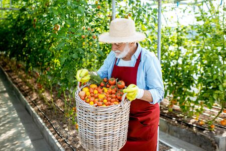 Portrait of a handsome well-dressed senior man with a basket full of freshly plucked tomatoes, harvesting in the greenhouse of a small agricultural farm