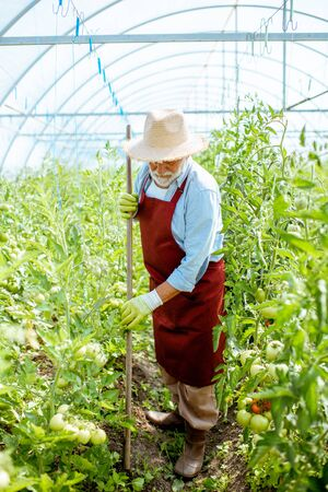 Senior man cultivating land with working tool on the tomato plantation in the hothouse. Working on farmland during the retirement age