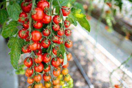 Branch with lots of growing cherry tomatoes on the organic plantation, close-up view