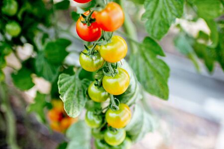 Branch with growing cherry tomatoes on the organic plantation, close-up view
