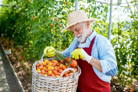 Portrait of a handsome well-dressed senior man with a basket full of freshly plucked tomatoes, harvesting in the greenhouse of a small agricultural farm Stok Fotoğraf - 127935886