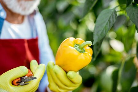 Senior agronomist collecting yellow peppers in the hothouse of a small agricultural farm, close-up view
