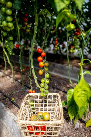 Branches with growing cherry tomatoes on the organic plantation, close-up view