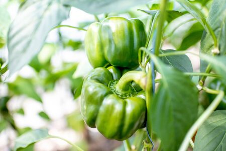 Organic plantation with growing sweet green peppers, ready to harvest, close-up view