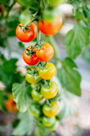 Branch with growing cherry tomatoes on the organic plantation, close-up view Stock Photo