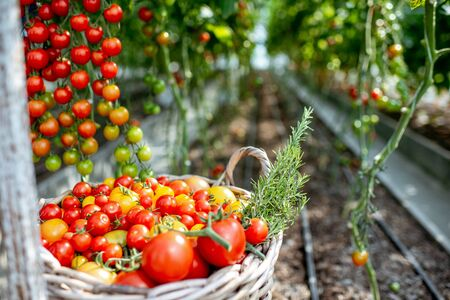 Rich harvest with lots of freshly plucked cherry tomatoes on the organic farm Zdjęcie Seryjne