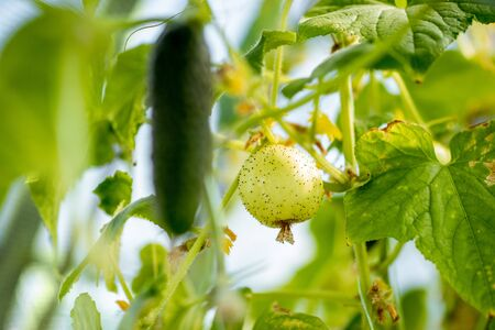 Lemon cucumber growing on the organic farm, close-up view