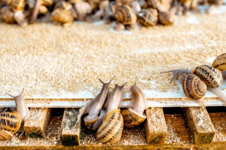 Lots of snails on a special shelves with feed on a farm for snails growing, close-up view 스톡 콘텐츠 - 127876825