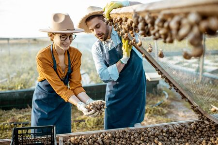 Two well-dressed farmers taking fresh snails from the nets for sell packing into the boxes on a farm outdoors. Concept of farming snails for eating
