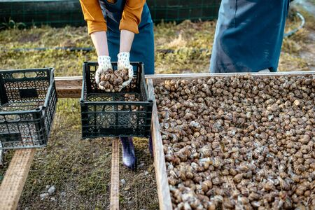 Farmers packing fresh snails for sell into the boxes on a farm with snails, close-up with no face Stock fotó - 127876690