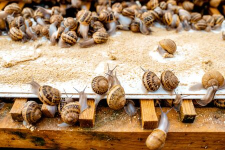 Lots of snails on a special shelves with feed on a farm for snails growing, close-up view Imagens