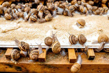 Molte lumache su scaffali speciali con mangime in una fattoria per la crescita delle lumache, vista ravvicinata Archivio Fotografico