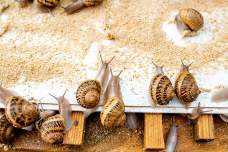 Lots of snails on a special shelves with feed on a farm for snails growing, close-up view 版權商用圖片
