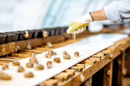 Worker feeding snails, powdering food on the special shelves in the hothouse of the farm, close-up view with no face